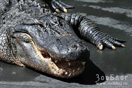 Суровые звери - аллигаторы (4 фото)