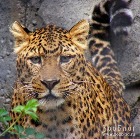 Леопарды (5 фото)