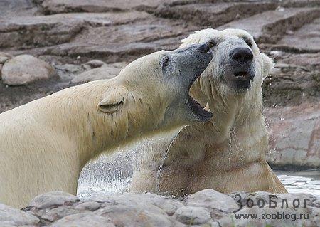 Белые полярные медведи (7 фото)
