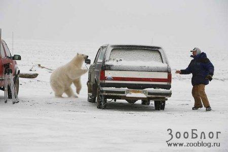 Белый медведь гоняется за мужиком