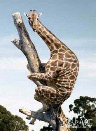 Жирафы