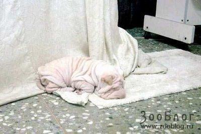 Белоснежный шарпей (6 фото)