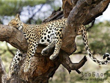 Леопарды (9 фото)