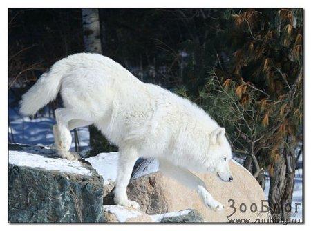 Волки от Gerry Sibell (9 фото)