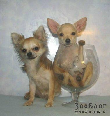 Карманные собачки (8 фото)