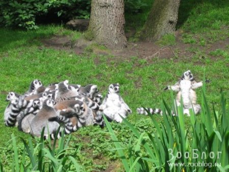 Кошачьи лемуры (7 фото)