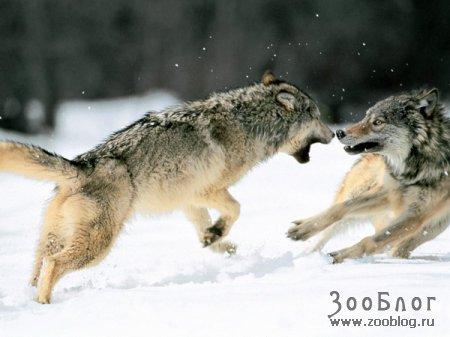 Разборки зверей (11 фото)
