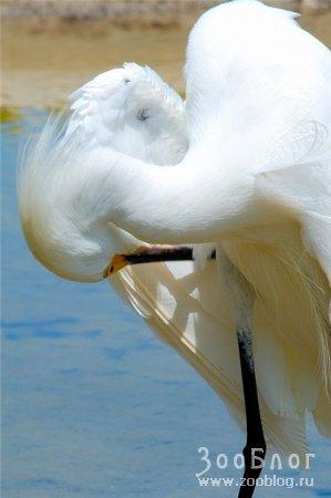 Белоснежные цапли (7 фото)