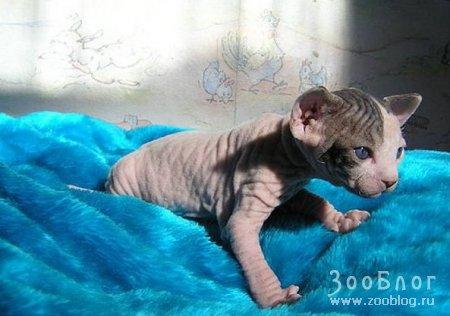 Кошечки-сфинксы (6 фото)