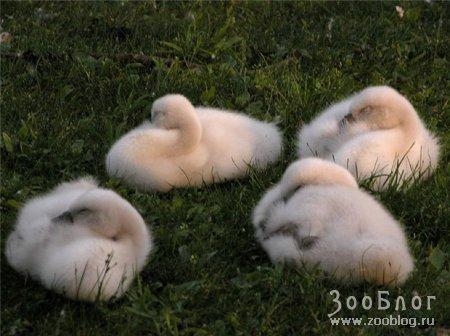 Фотографии очаровательных птенцов (6 фото)