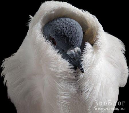 Голуби ч.1 (8 фото)