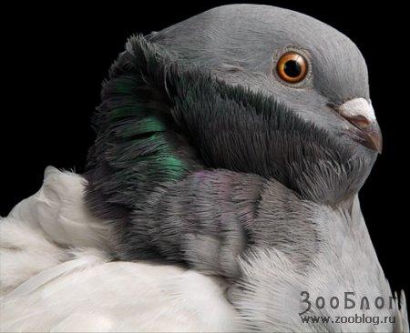 Голуби ч.2 (7 фото)
