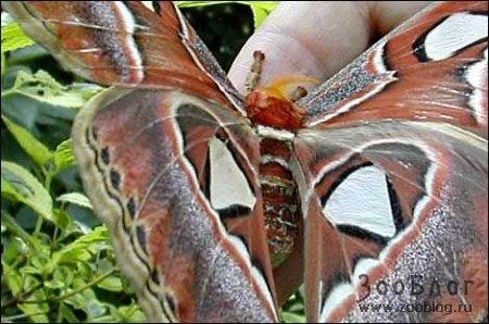Самая большая бабочка в мире (9 фото)