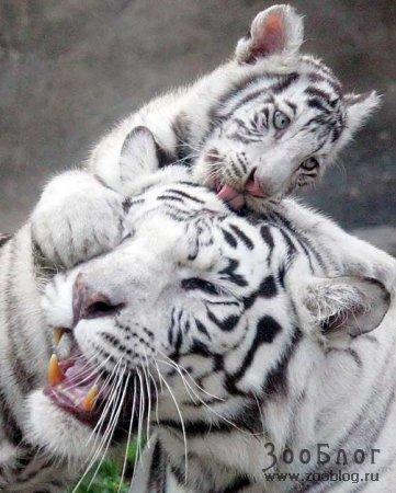 Новорожденные бенгальские тигрята в Московском зоопарке