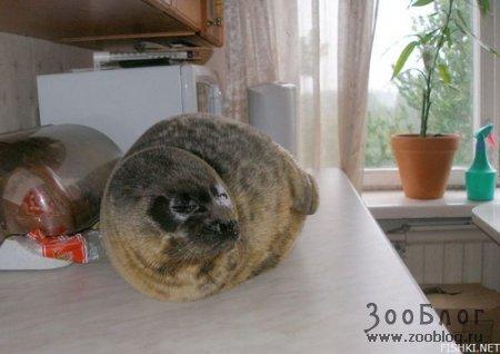 Тюлень в московской квартире