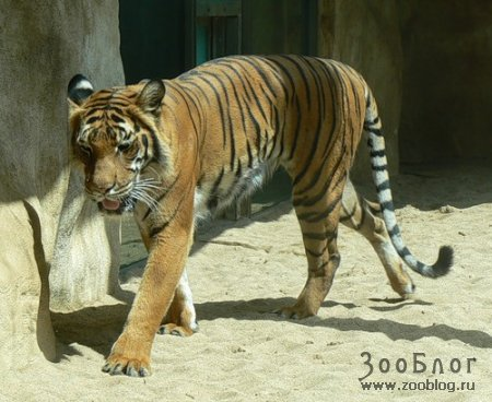 Малайские тигры