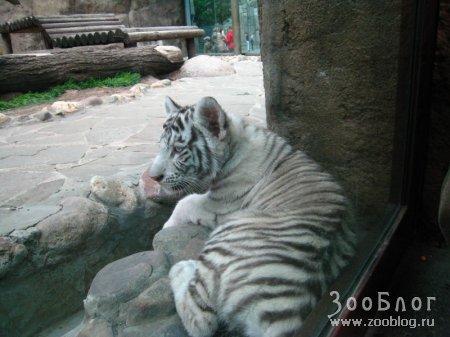 Белые тигрята из московского зоопарка