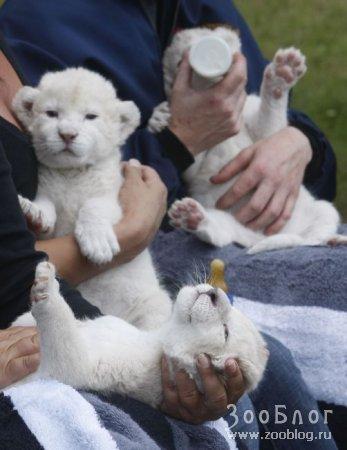 Львята-альбиносы