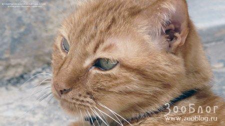 Рыжий мальтийский кот
