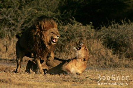 Львы (10 Фото)
