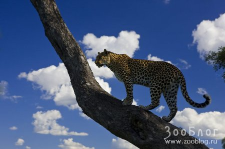 Леопарды (6 Фото)