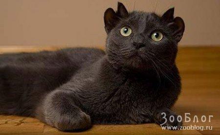 Четырехухий кот по кличке Йода (4 фото)