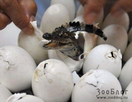 Новорожденные крокодилы