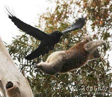 Покушение на жизнь коалы