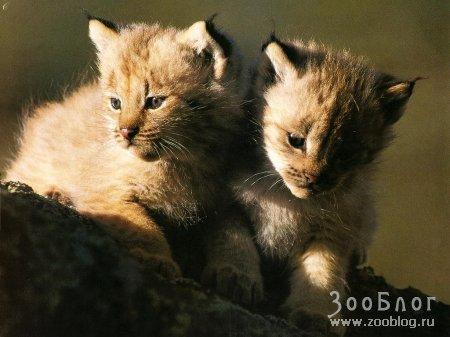 Семейство Кошачих (22 фото)