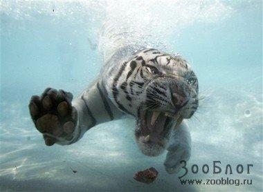 Тигры в воде (21 фото)