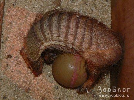 Щетинистый броненосец (Chaetophractus villosus)