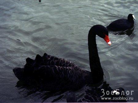 Чёрный Лебедь (6 фото)