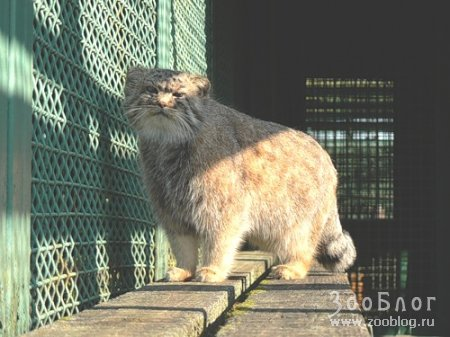 Забайкальский сибирский манул
