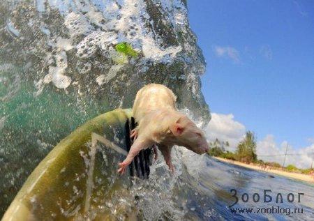 Крысенок-серфер