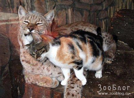 Две подруги: рысь и кошка (4 фото)