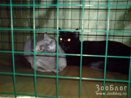 Выставка кошек г. Череповец 2008