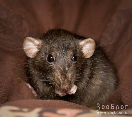 Фотосессия любимой крысы