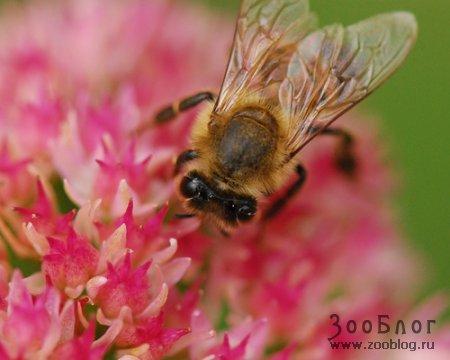 Рассмотреть поближе: оса или пчела?
