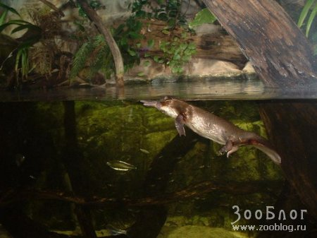 Утконос (Ornithorhynchus anatinus)