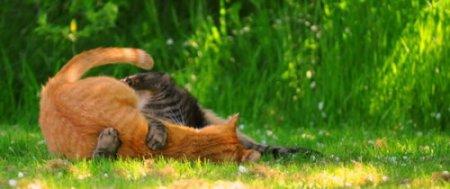 Кошачья битва