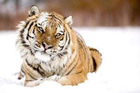 Тигровая фотосессия ;)