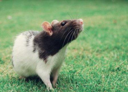 Домашние крысы
