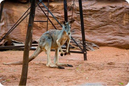 Жители кенгуру