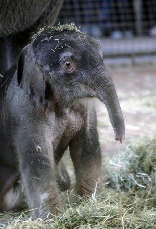 Первые шаги слоненка Ko Raya