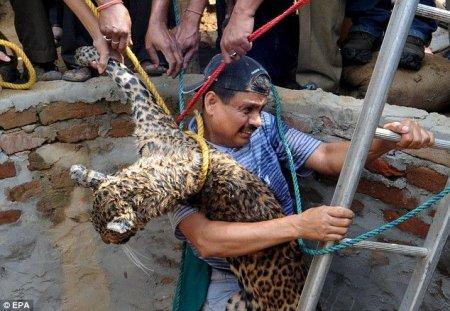 Спасение леопарда