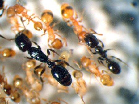 В муравьином царстве зафиксированы восстания рабов