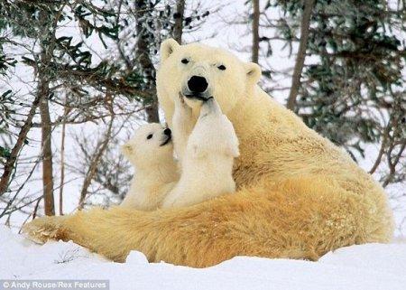 Белые медвежата с мамой (6 фото)