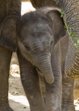 Слоны и слонята