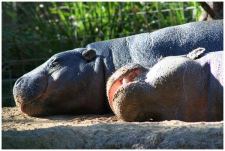 Бегемоты и их детёныши