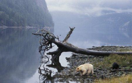 Медведь-блондинка